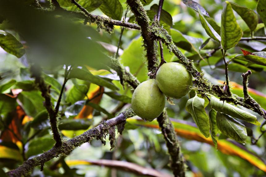 Sidrunid. Puu alla kukkunud viljad olid juba täitsa valmis ja oi, kui hapud :) Tegime sidrunijooki