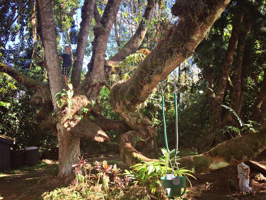 Meil on aias ideaalsed ronimispuud. Kren paneb kiiresti üles nagu väike ahvike... ja siis hüüab appi :)